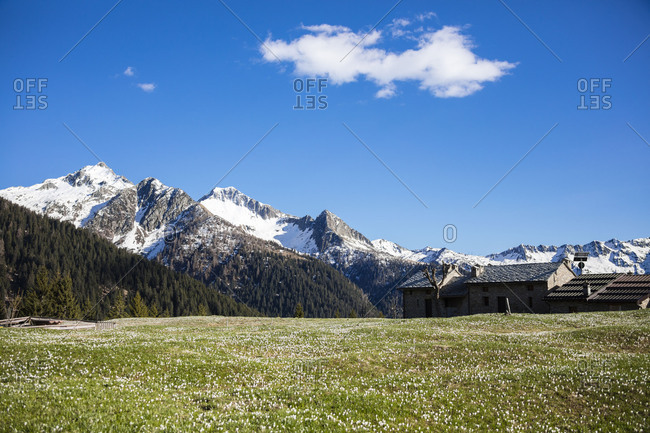 Typical huts framed by green meadows covered by crocus in bloom Albaredo Valley Orobie Alps Valtellina Lombardy Italy Europe