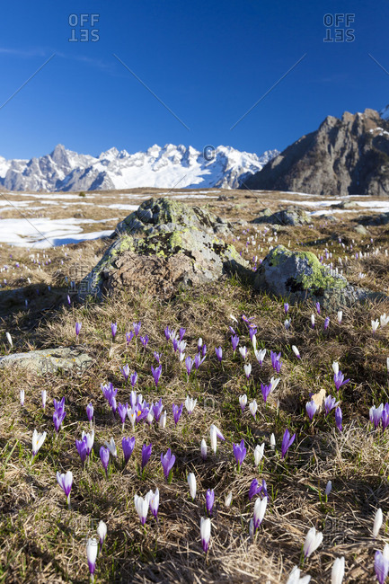 Colorful Crocus in meadows framed by snowy peaks Alpe Granda Sondrio province Masino Valley Valtellina Lombardy Italy Europe