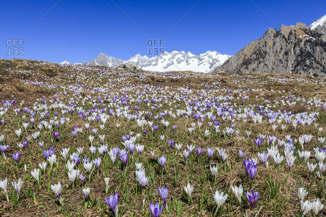 Blue sky on the colorful Crocus flowers in bloom Alpe Granda Sondrio province Masino Valley Valtellina Lombardy Italy Europe