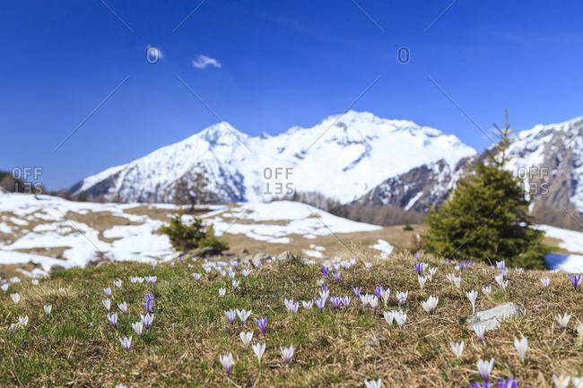 The snowy peaks frame the blooming Crocus Alpe Granda Sondrio province Masino Valley Valtellina Lombardy Italy Europe