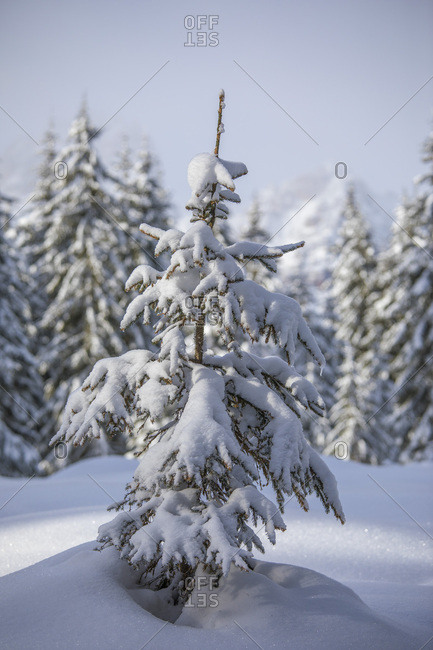 A snow covered pine along the path leading to the Nemes, Sesto, Pusteria valley, Trentino Alto Adige, Italy, Europe