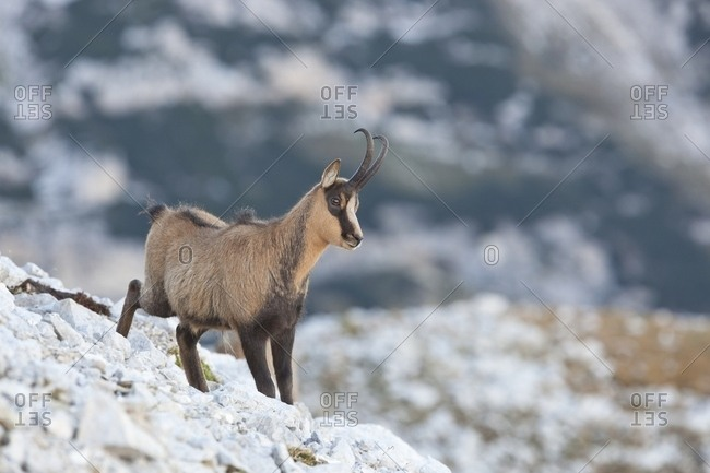 Portrait of Apennine chamois in the Murelle amphitheater, Majella national park, Abruzzo, Italy, Europe