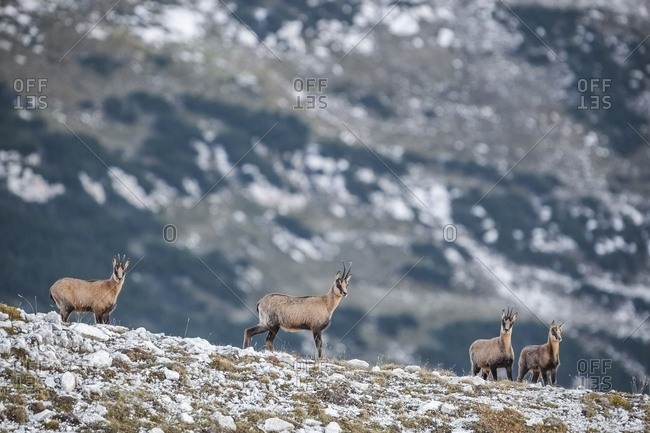 Herd of Apennine chamois in the Murelle amphitheater, Majella national park, Abruzzo, Italy, Europe