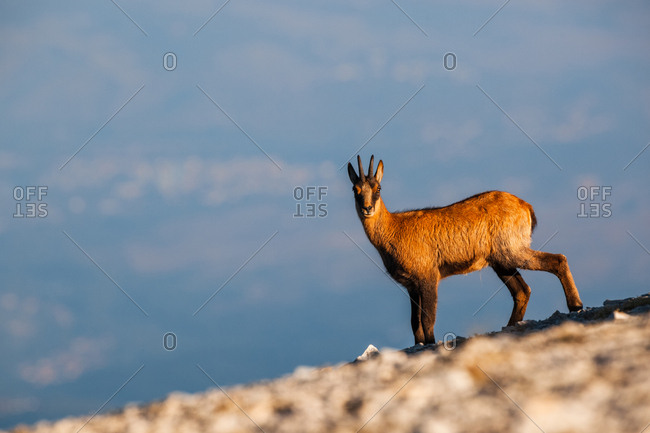 Silhouette of Apennine chamois at sunrise in the Murelle amphitheater, Majella national park, Abruzzo, Italy, Europe