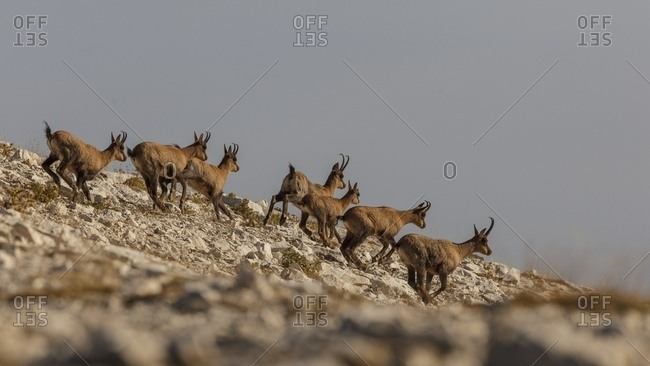 Herd of Apennine chamois running in the Murelle amphitheater, Majella national park, Abruzzo, Italy, Europe