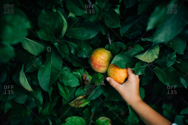 Child picking an apple from a tree