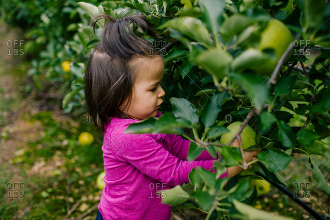 Toddler girl picking apple in orchard