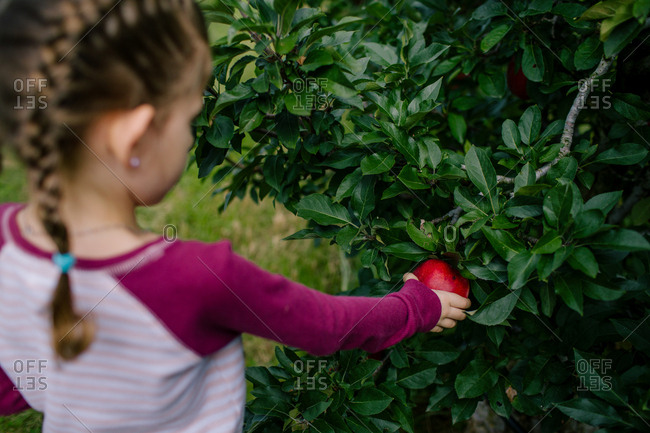 Girl picking a ripe red apple from tree