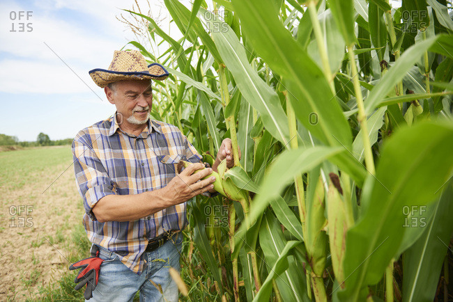 Farmer at cornfield examining maize plants