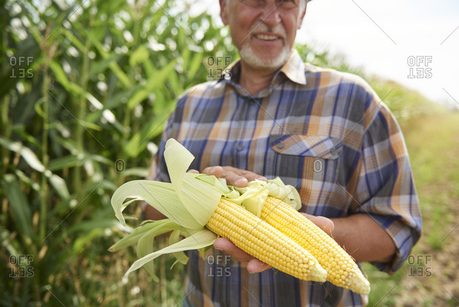 Farmer holding two corn cobs at cornfield