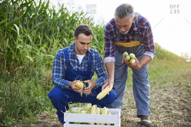Two experienced farmers controlling their corn crop