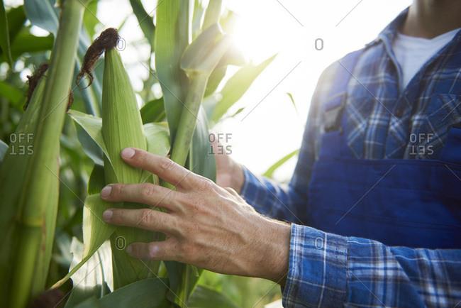 Close-up of farmer at cornfield examining maize plants