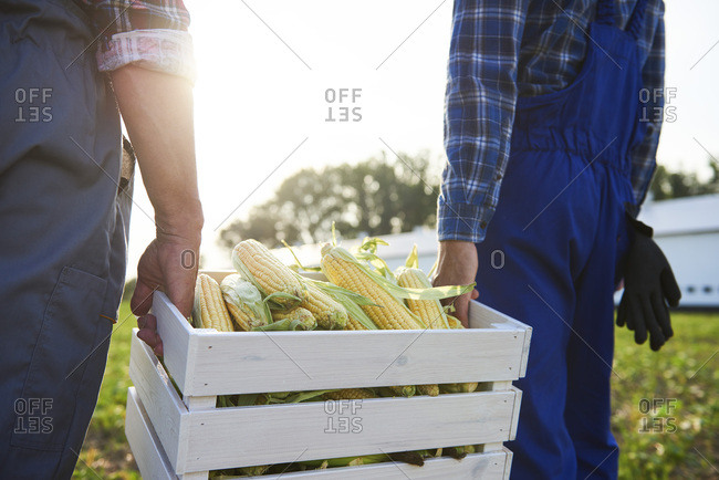 Close-up of two farmers carrying a full crate of corn cobs on the field