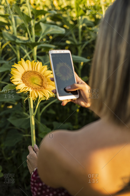 Close-up of woman in a field taking a picture of a sunflower with her smartphone