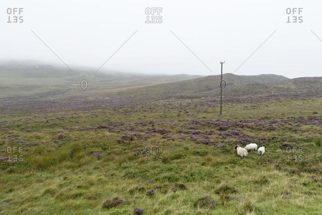 UK- Scotland- Isle of Skye- sheep on pasture