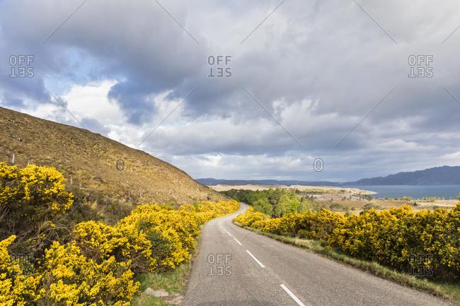 UK- Scotland- Highlands- broom shrubs at A896