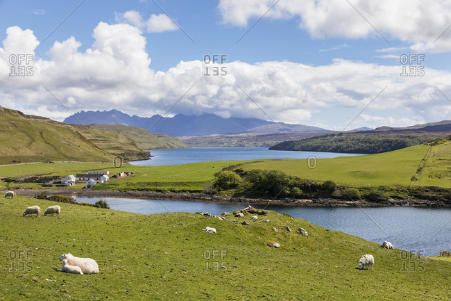 UK- Scotland- Inner Hebrides- Isle of Skye- Loch Harport- Gesto Bay- sheep on pasture