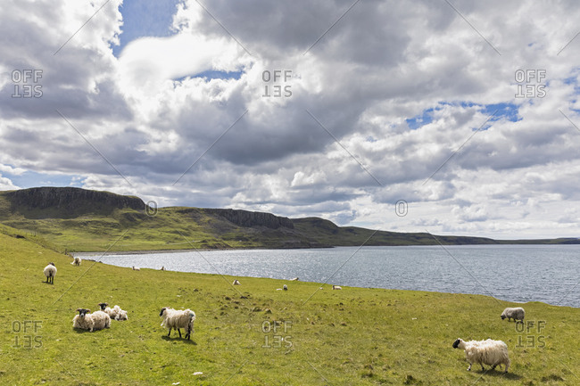 UK- Scotland- Inner Hebrides- Isle of Skye- sheep at Duntulm sea viewpoint