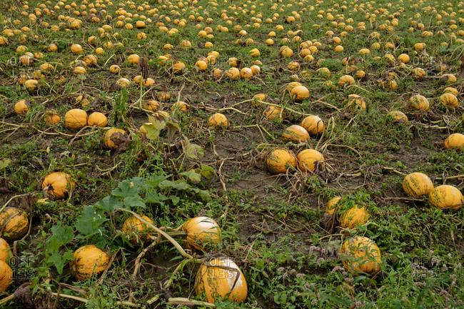Austria- South-Styria- pumpkin field