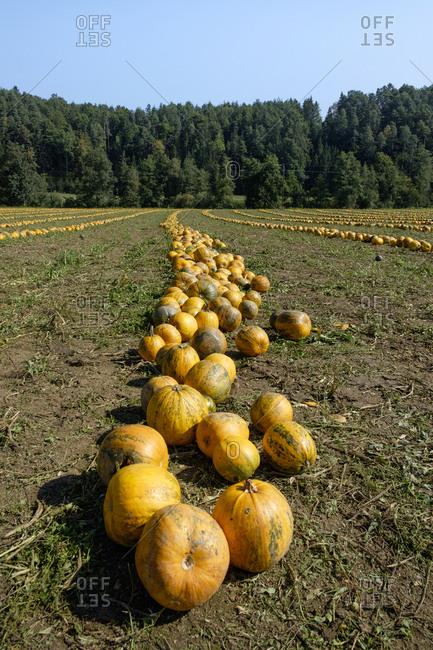 Austria- South-Styria- pumpkin field - Offset