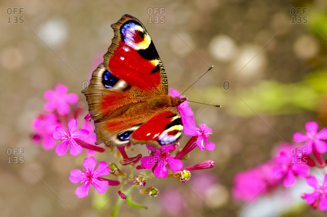 Peacock butterfly on blossom- Inachis Io