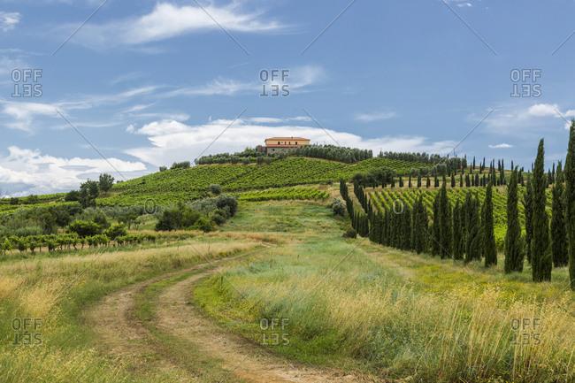 Italy- Tuscany- Monsummano Terme- vineyards