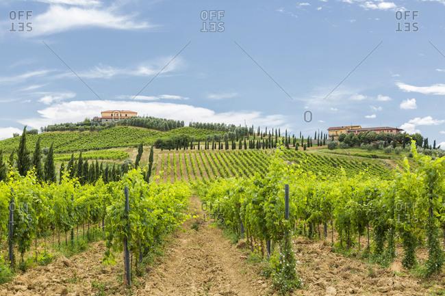 Italy- Tuscany- Monsummano Terme- vineyard