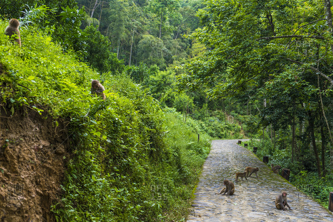 China- Fujian Province- monkeys on a path in Niumu forest