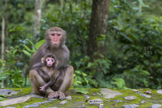 China- Fujian Province- portrait of two monkeys in Niumu forest- mother with young