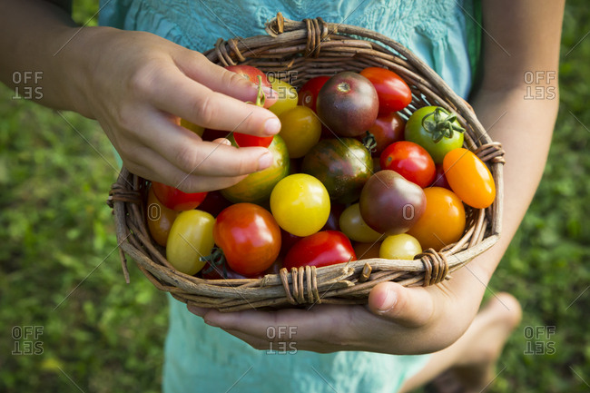 Hands of little girl holding basket of Heirloom tomatoes- close-up