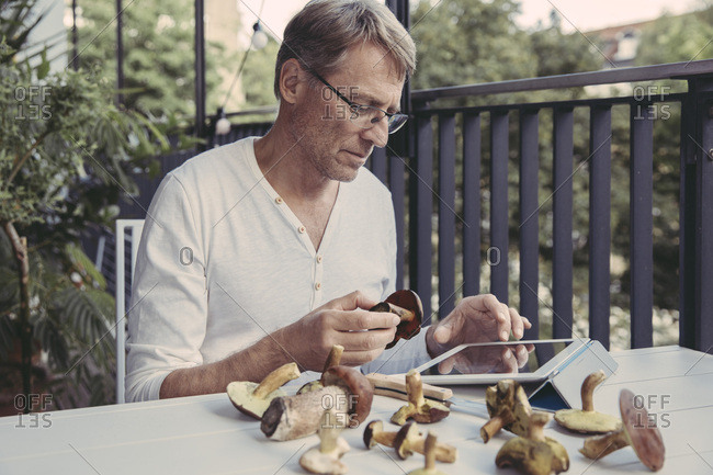 Man holding scarletina bolete while reading information on digital tablet