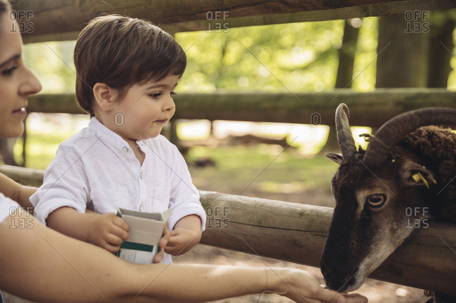 Mother and little son feeding goat in wild park