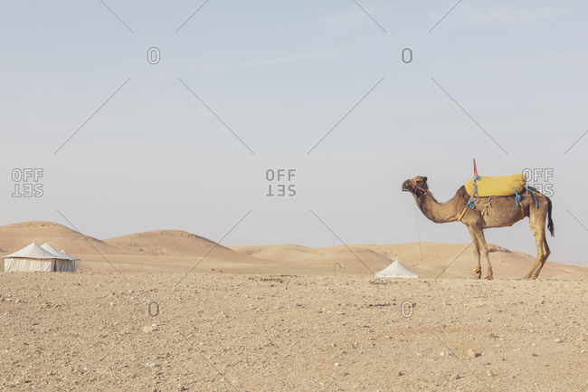 Morocco- desert- camel and tents in the background