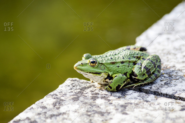 Common water frog on a wall