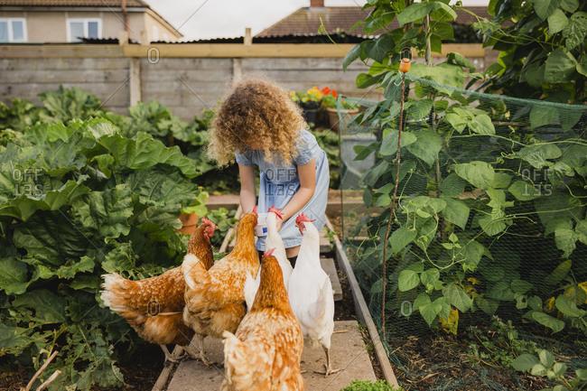 Little girl feeding chickens in allotment
