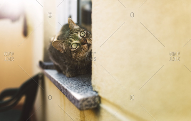 Tabby cat looking up- sitting on window sill