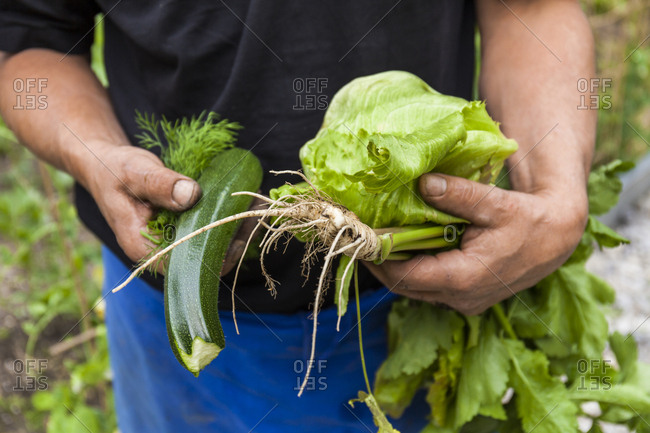 Close-up of man holding garden vegetables