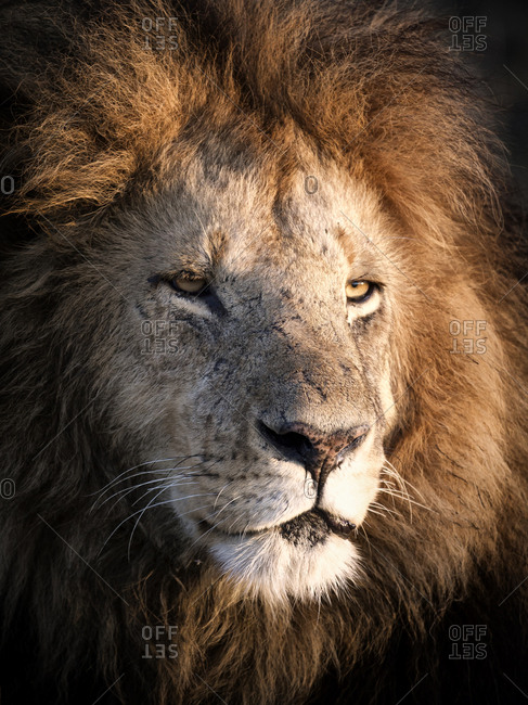 Portrait of impressive full maned lion