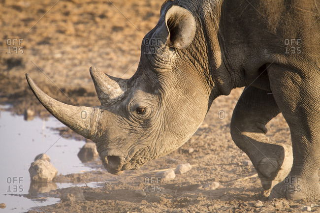 Close up portrait of Black Rhino bending down to drink