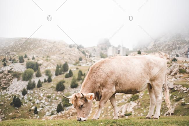 Cow grazing in rural pasture