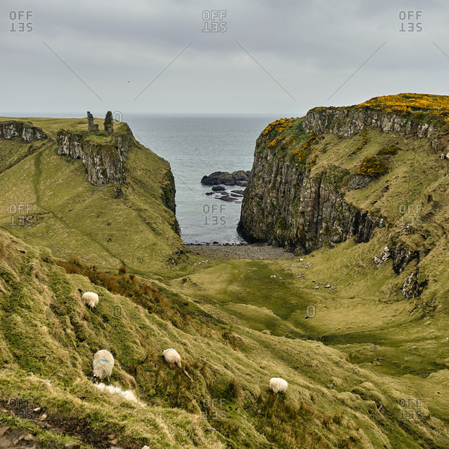 Sheep on hill with hidden beach, County Antrim, Northern Ireland, 2018