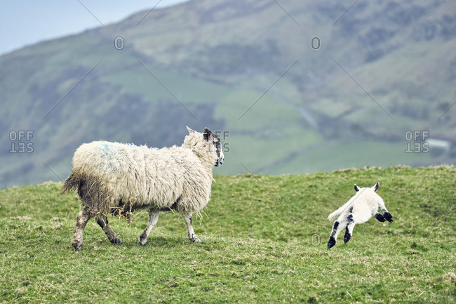 Family of sheep on irish coast, County Antrim, Northern Ireland, United Kingdom, 2018