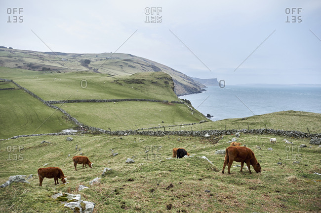 Cattle on farmlands of Torr's head, County Antrim, Northern Ireland, United Kingdom, 2018