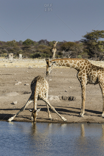 Giraffe (Giraffe Camelopardalis), mother watching baby drink, Etosha National Park, Namibia, Africa