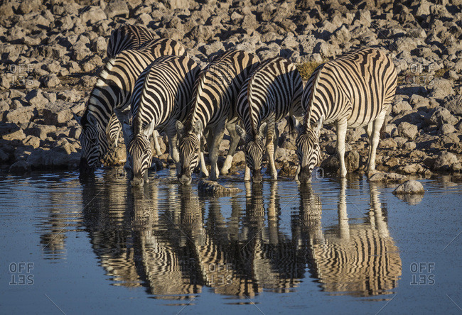 Burchells Zebra (Equus burchelli) drinking at waterhole, Okakeujo Camp, Etosha National Park, Namibia, Africa