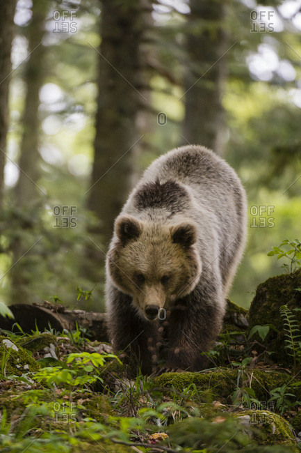 A European brown bear (Ursus arctos) walking towards the camera, Slovenia, Europe