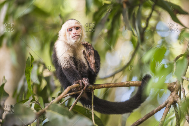 White-faced Capuchin (Cebus capucinus) by Manuel Antonio Beach, Manuel Antonio National Park, Costa Rica, Central America