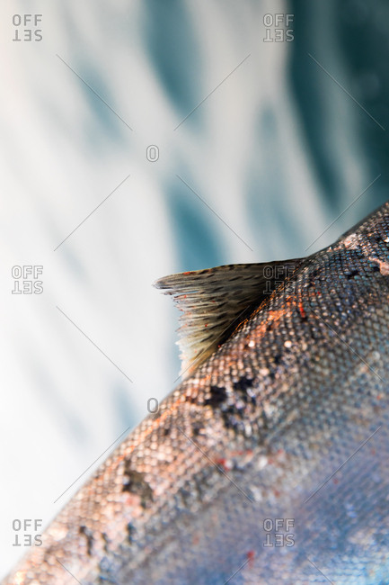 Close-up of scales and fin on a fish