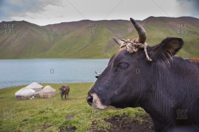 Cow and yurts on Lake Kol Ukok, Kotchkor, Naryn Province, Kyrgyzstan