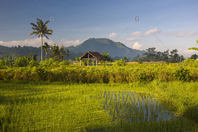 Rice field in front of Agung volcano in Sidemen, Bali, Indonesia